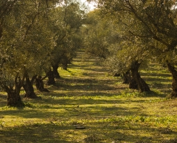 OLIVE OIL: THE  RETURN  OF  THE  ANCIENT  MEDICINE